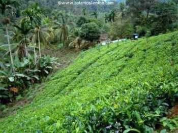 Campo de té (Camellia sinensis). www.botanical-online.com